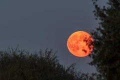 在蓝色暮色天空的红色血液月亮 库存图片