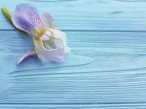 在蓝色木背景的新鲜的虹膜开花秀丽设计高雅花 库存图片