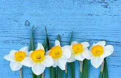 在蓝色木背景的黄水仙花从上面 免版税库存照片