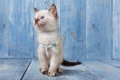 在蓝色木头的白色暹罗小猫 免版税库存照片
