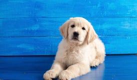 在蓝色木头的英国金毛猎犬小狗 免版税库存图片