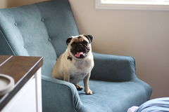 在蓝色椅子的愉快的哈巴狗 图库摄影