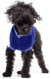 在蓝色毛线衣的粗野的长卷毛狗 库存照片
