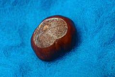 在蓝色毛织物品的一个大棕色栗子 免版税库存图片