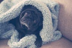在蓝色毯子包裹的沙发的一点哈巴狗狗 库存照片