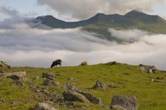 在蓝色海和草峭壁背景的两只绵羊 免版税库存照片