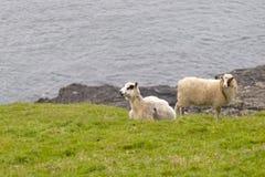 在蓝色海和草背景的两只绵羊公羊 库存照片
