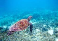 在蓝色海水的海龟 绿浪乌龟特写镜头 热带珊瑚礁野生生物  免版税库存照片