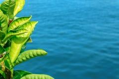 在蓝色海背景的鲜绿色的叶子 库存照片
