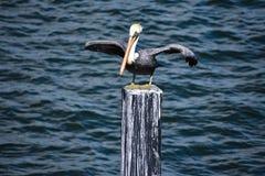 在蓝色海背景的鹈鹕打开的翼在佛罗里达的历史的海岸 免版税库存图片