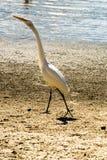 在蓝色海附近的白色苍鹭 免版税图库摄影