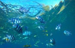 在蓝色海水水下的照片的Dascillus热带鱼 异乎寻常的盐水湖与海洋生活 库存图片