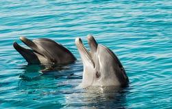在蓝色海水的两只海豚 库存图片