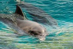 在蓝色海水的两只海豚 免版税库存图片