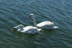 在蓝色海水的两白色天鹅游泳 天鹅家庭游泳 图库摄影