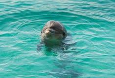 在蓝色海水的海豚 库存图片