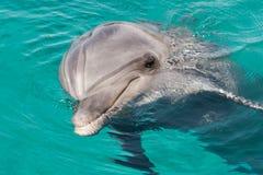 在蓝色海水的海豚 库存照片