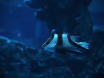 在蓝色深海的鱼 免版税库存照片