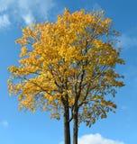 在蓝色清楚的天空背景的五颜六色的秋天树在晴朗的weath 库存图片