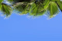 在蓝色清楚的天空背景的绿色棕榈叶 隔绝枣椰子的叶子横幅的,广告,名片 库存图片