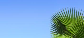 在蓝色清楚的天空背景的绿色棕榈叶 隔绝枣椰子的叶子横幅的,广告,名片 免版税库存照片
