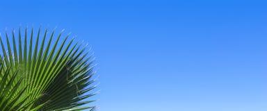 在蓝色清楚的天空背景的绿色棕榈叶 隔绝枣椰子的叶子横幅的,广告,名片 免版税库存图片