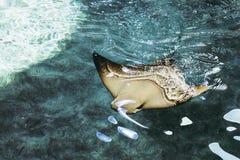 在蓝色清楚的水的披巾游泳 图库摄影