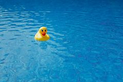 在蓝色游泳池的黄色橡胶鸭子 免版税图库摄影