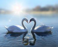 在蓝色湖的天鹅在晴天浇灌 库存图片