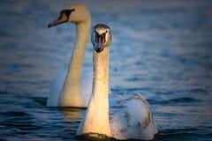 在蓝色湖的少年疣鼻天鹅游泳 库存照片