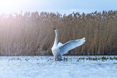 在蓝色湖的疣鼻天鹅振翼与晴朗的热点 免版税库存照片