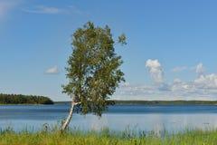 在蓝色湖银行的桦树  免版税库存图片