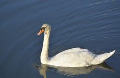 在蓝色湖水的天鹅 库存图片