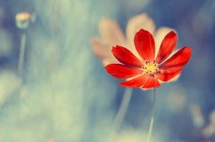 在蓝色的一朵明亮的红色野花弄脏了背景 库存图片