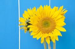 在蓝色的向日葵 免版税库存图片