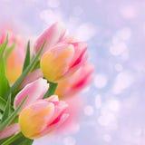 在蓝色的桃红色郁金香 免版税库存图片