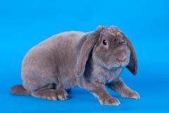在蓝色的灰色垂耳兔子rex品种 库存照片
