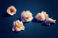 在蓝色的玫瑰 图库摄影