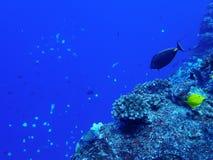 在蓝色的珊瑚礁与与蓝色Backgr的热带鱼Ridgeline 库存图片
