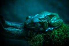 在蓝色的蛙 免版税库存照片