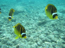 在蓝色的鱼 免版税库存图片