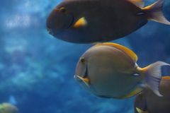 在蓝色的鱼 库存图片