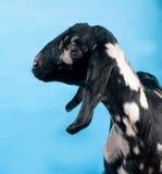 在蓝色的黑,白色和红色Nubian羊羔 免版税库存图片