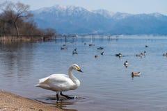 在蓝色盐水湖或湖水的美洲天鹅天鹅座在晴天 库存图片