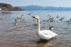 在蓝色盐水湖或湖水的美洲天鹅天鹅座在晴天 免版税库存照片