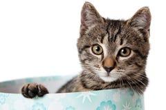 在蓝色礼物盒的镶边小猫 免版税图库摄影