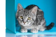 在蓝色立方体的平纹灰色猫 库存图片