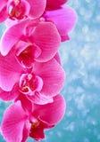在蓝色精美发光的tex的花卉欢乐桃红色兰花背景 免版税图库摄影
