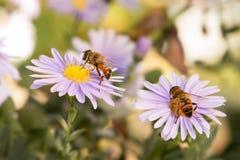 在蓝色纽约翠菊的两只蜂蜜蜂 免版税库存图片