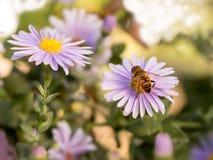 在蓝色纽约翠菊的蜂蜜蜂 选择聚焦 免版税库存图片